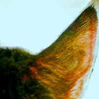 Pets With Diabetes Cat Ear Prick